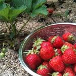 美味しい! 甘い! イチゴの見分け方の秘密!