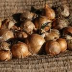 玉ねぎの賞味期限 芽が出ていても食べるのは大丈夫!?
